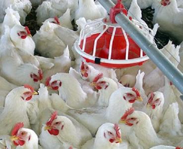 رشد قیمت گوشت مرغ